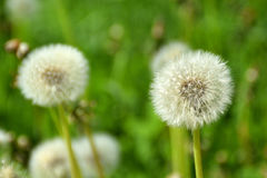 A dandelion flower head. A dandelion flower head on a sunny summer day Stock Image
