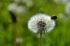 A dandelion flower head. A dandelion flower head on a sunny summer day Stock Photo