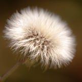 Dandelion Flower Head Royalty Free Stock Photo