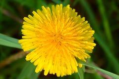 Dandelion Flower Illinois Royalty Free Stock Photos
