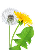 Dandelion flower isolated Royalty Free Stock Image