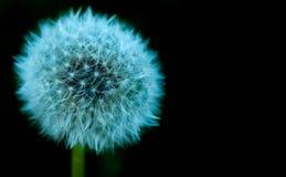 Dandelion flower isolated on black background. Closeup Dandelion flower stock images