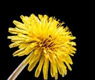 Dandelion flower isolated on black. Yellow dandelion flower isolated on black, macro with shallow depth of field stock image
