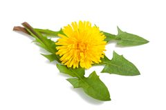 Dandelion. With flower isolated on white stock photography