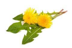 Dandelion royalty free stock photography