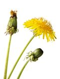 Dandelion flower, isolated on white. Three stage of growing dandelion flower, isolated on white royalty free stock images