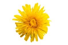 Dandelion flower isolated. On white background stock image