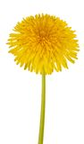 Dandelion flower Royalty Free Stock Photo