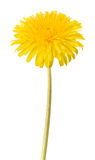 Dandelion flower isolated Stock Images
