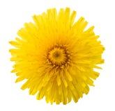 Dandelion flower isolated. On white background royalty free stock photo