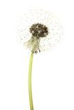Dandelion Flower Isolated on White Background. Blowball. Dandelion Flower Isolated on White Background. Summer Blowball stock photos