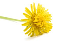 Dandelion flower isolated. On white background stock photos
