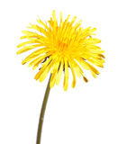 Dandelion flower isolated on white background. Dandelion yellow flower isolated on white background royalty free stock photography