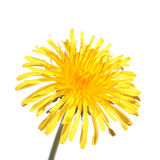 Dandelion flower isolated on white background. Dandelion yellow flower isolated on white background stock photography