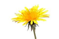 Dandelion flower isolated on white background. Dandelion yellow flower isolated on white background stock photo