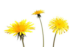 Dandelion flower isolated on white background stock photography