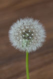 Dandelion flower isolated on wooden blurred background Royalty Free Stock Photography