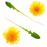 Dandelion Flower and Leaves Stock Photography