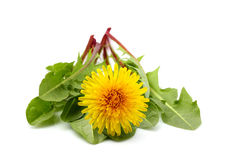 Dandelion flower with leaves isolated. Fresh dandelion flower with leaves isolated closeup on white background royalty free stock photography