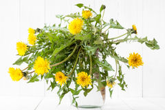 Dandelion flower with leaves and root. Placed in jar with water stock image