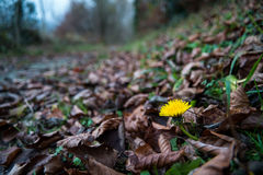 Dandelion flower in leaves. A yellow flower growing out of brown leaves Royalty Free Stock Image