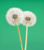 Dandelion flower on light green color background, many closeup object Royalty Free Stock Photos