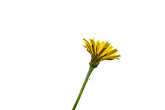 Dandelion flower on long green stem Stock Images
