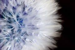 Dandelion flower macro. Extreme macro photo of dandelion flower Stock Image