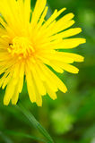 Dandelion flower macro Stock Photo