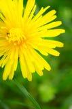 Dandelion flower macro Stock Photo