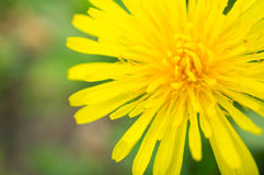 Dandelion flower macro Stock Photos