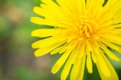 Dandelion flower macro Stock Photos