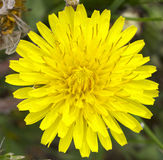 Dandelion Flower Macro Royalty Free Stock Image