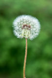 Dandelion flower Royalty Free Stock Image