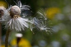 Dandelion flower macro Stock Images