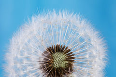Dandelion flower macro view. Stock Photography