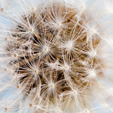 Dandelion flower macro view Royalty Free Stock Images