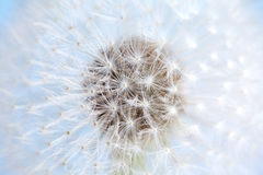 Dandelion flower macro view Stock Images