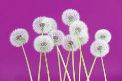 Dandelion flower on magenta color background, group objects on blank space backdrop, nature and spring season concept. stock photos