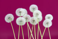 Dandelion flower on magenta color background, group objects on blank space backdrop, nature and spring season concept. royalty free stock photos