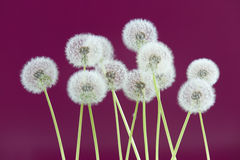 Dandelion flower on magenta color background, group objects on blank space backdrop, nature and spring season concept. royalty free stock photography