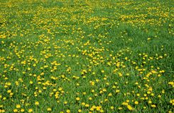 Dandelion flower meadow. A blooming meadow full of yellow dandelion flowers stock images