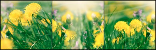 Dandelion flower in meadow, beautiful flowering, beautiful nature. Dandelion flower in meadow, beautiful flowering dandelion flowers in spring - springtime Stock Photography