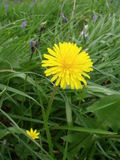 Dandelion Flower in Meadow. A bright yellow dandelion flower amongst long grass, in a meadow. The flower is open and you can see a smaller, yellow celandine Stock Photo