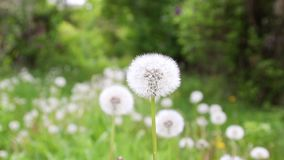 Dandelion flower in meadow. Bloomed dandelion in nature grows from green grass. Old dandelion closeup stock video footage