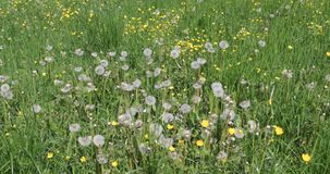 Dandelion flower in meadow. Dandelions in the field swing in the wind. Field of dandelions, summer day stock video