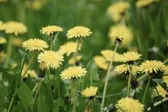 Dandelion flower meadow Royalty Free Stock Photo