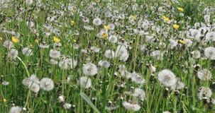 Dandelion flower in meadow. Dandelions in the field swing in the wind. Field of dandelions, summer day stock footage