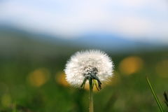 Dandelion. Flower in the mountains Royalty Free Stock Photos
