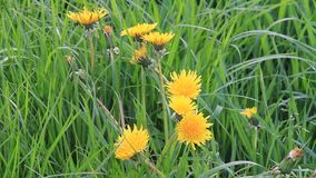 Dandelion flower in the nature. In spring, background stock footage